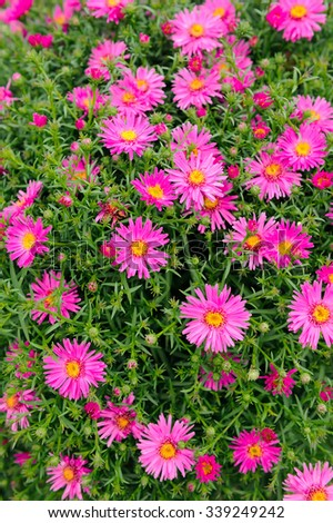 Pink New York Aster Flowers - stock photo