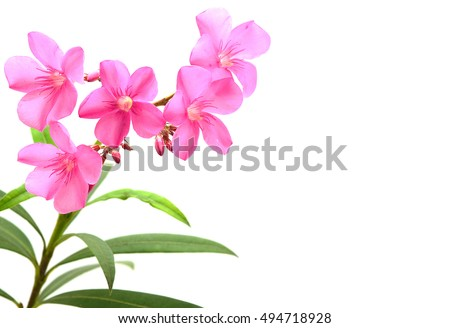 Pink oleander flower leaves isolated on stock photo royalty free pink oleander flower leaves isolated on stock photo royalty free 494718928 shutterstock mightylinksfo Gallery