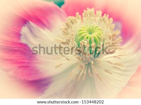 Pink Opium Poppy Deco - stock photo