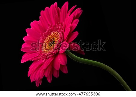 Pink or red gerbera with stem isolated on black background.