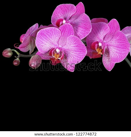 Pink orchid, black background, isolated - stock photo