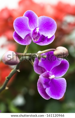 Pink orchid flower in close up - stock photo