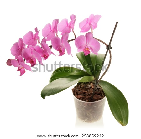 Pink Orchid flower on pot isolated - stock photo