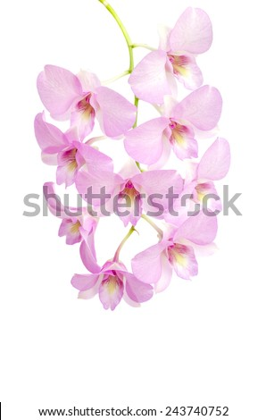 Pink orchid flower on white background
