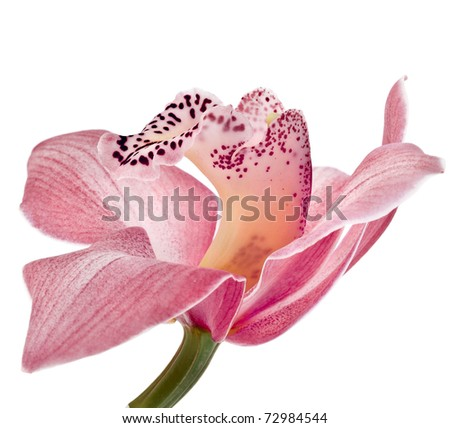 pink Orchid flower on white background - stock photo