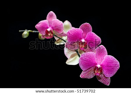 pink orchid flowers - stock photo