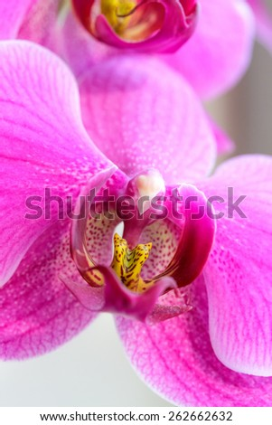 Pink orchid flowers closeup