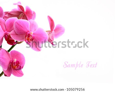 Pink orchid flowers isolated over white with copyspace