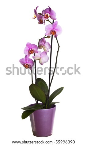 Pink orchid in a flowerpot, seamlessly isolated on white background