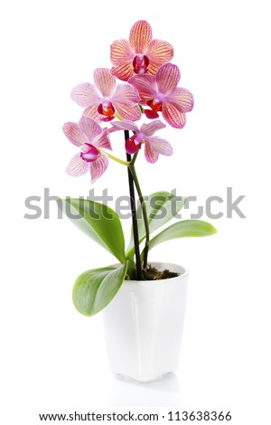 Pink orchid in a white flowerpot on white background - stock photo