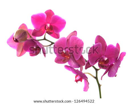 pink orchid isolated on white. - stock photo