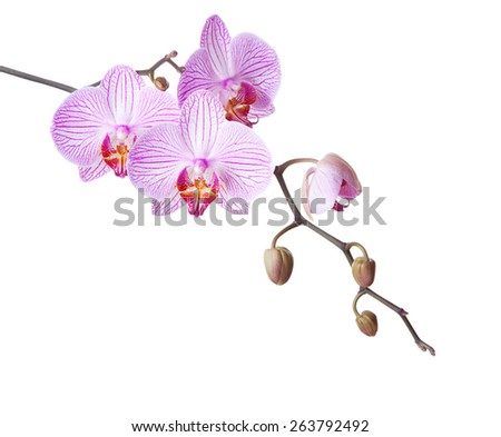 Pink orchid isolated on white background. - stock photo