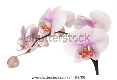 Pink orchid isolated on white background - stock photo