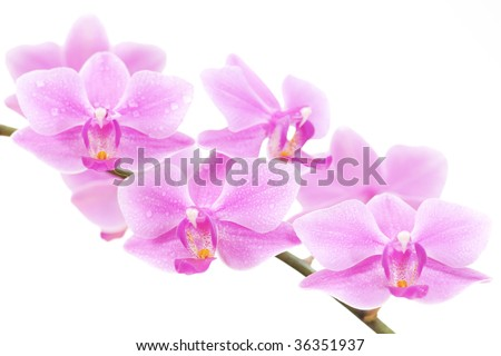 pink orchid on white background, with water drops on its petals - stock photo