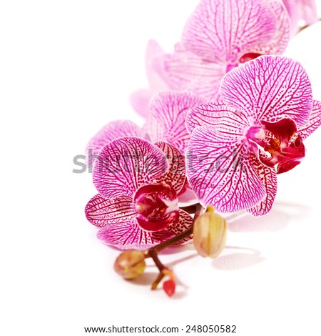 Pink orchid Phalaenopsis. Beautiful branch of pink flowers. Tropical pink flowers of an orchid. - stock photo