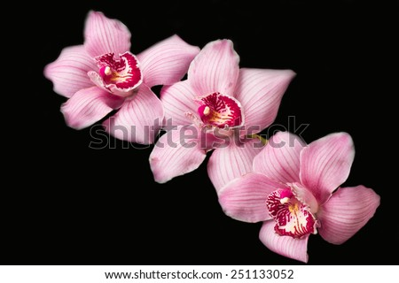 Pink orchids - black background - stock photo