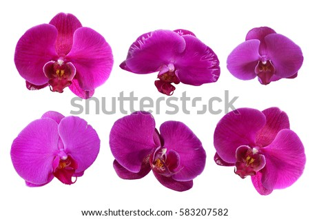 pink orchids flower isolated, die cut with path