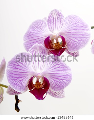 Pink orchids isolated on white - stock photo