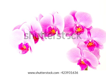 Pink orchids on white background , amazing ,lovely ,natural ,fresh ,spring flowers ,colorful ,bloom ,purple ,stem ,closeup ,macro , violet, petals, long plant ,many ,together ,decoration