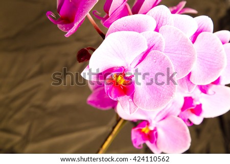pink orchids, orchids on grey ,orchid on black ,orchids in studio,fresh flowers,spring flowers,drops on flowers,pink,amazing natural flowers,violet ,blossom,beauty ,plant ,stem,garden,natural flowers  - stock photo