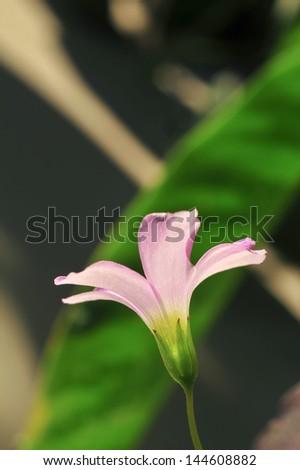 Pink oxalis (Oxalis corymbosa) in garden - stock photo