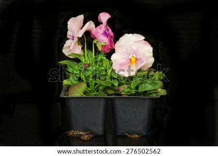 Pink pansies in a pony pack on black background - stock photo