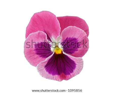 Pink pansy flower head viola x stock photo 100 legal protection pink pansy flower head viola x wittrockiana mightylinksfo