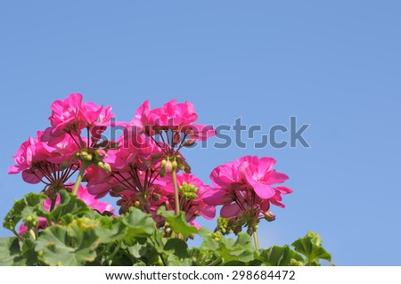 Pink Pelargonium on blue sky - stock photo