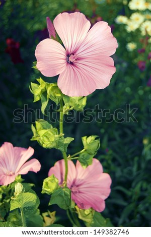 Pink pelargonium with funnel-shaped blossom  - stock photo
