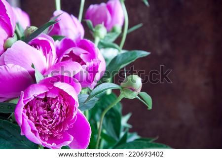 Pink peonies - stock photo