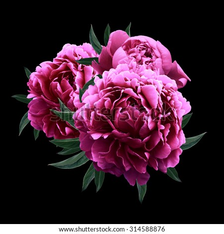 Pink peonies close up isolated on black background - stock photo