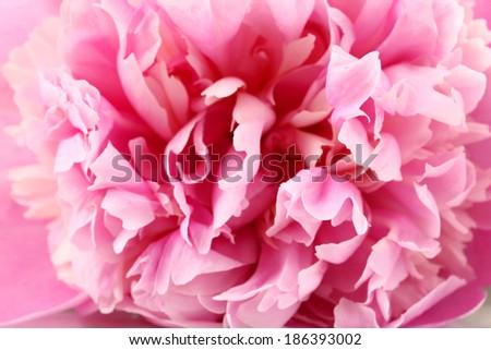 Pink peony close-up - stock photo