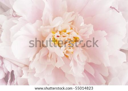 pink peony flower - close-up - stock photo