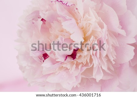 Pink Peony Flower close up and isolated against pink background