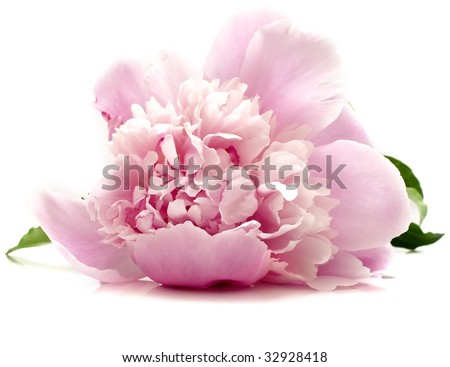 pink peony flower on white background. isolated - stock photo