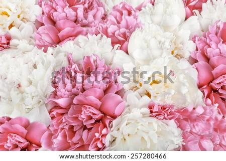 Pink peony flower petal background. Paeonia lactiflora. - stock photo