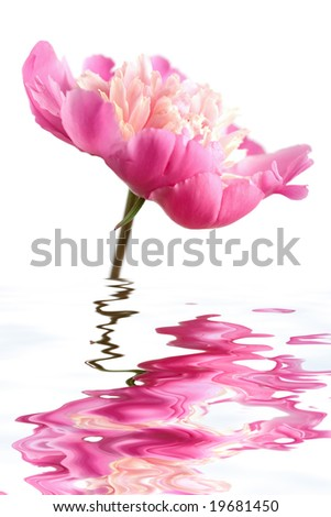 pink peony flower reflecting in water isolated - stock photo