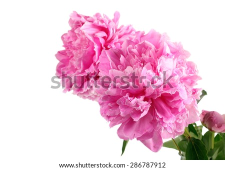 Pink peony flowers over white  background, with space for text