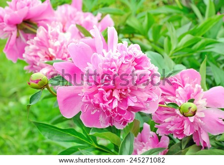 Pink peony in a full bloom in garden - stock photo