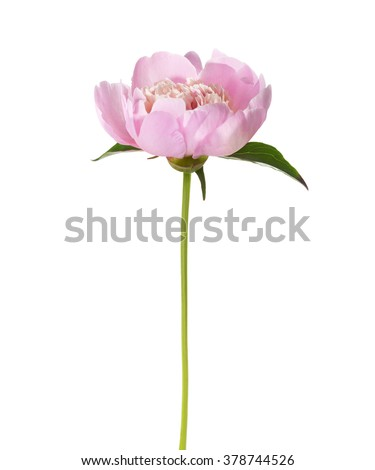 Pink peony  isolated on white background. - stock photo