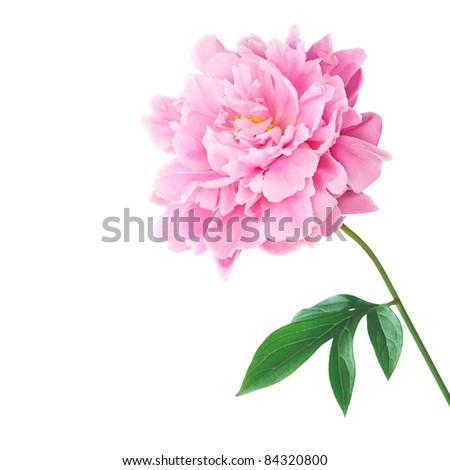 Pink peony isolated on white background - stock photo