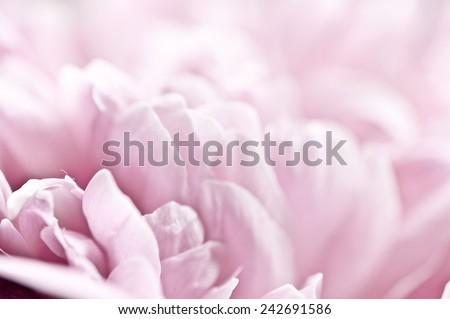 Pink peony macro - stock photo