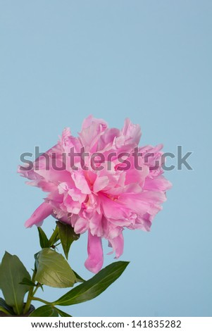 pink peony on a blue background