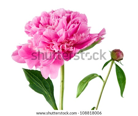 pink peony on a white background - stock photo
