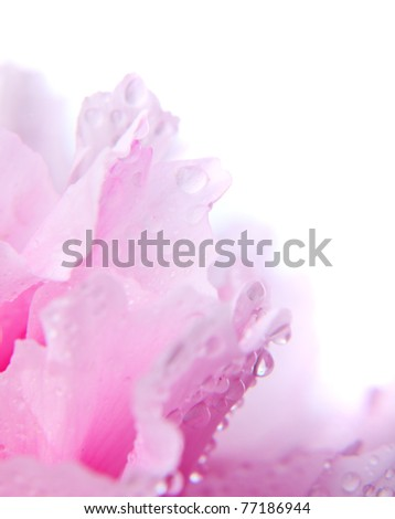Pink peony with waterdrops close up in high key