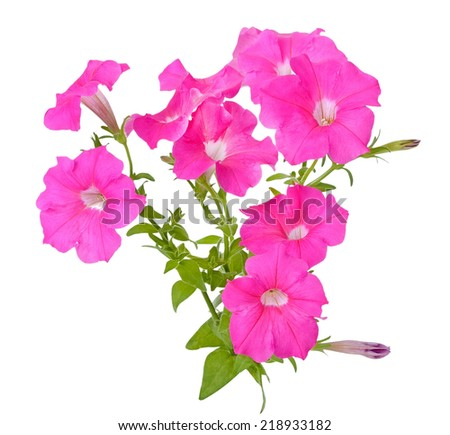 Pink petunia flowers isolated on white background - stock photo