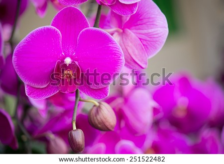 pink phalaenopsis orchid flower - stock photo