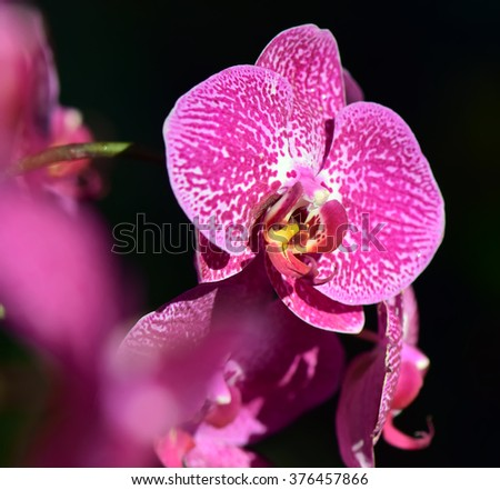 Pink Phalaenopsis orchids hybrid close up at Royal Rajchapuak Park,Chiangmai Thailand Thai orchids - stock photo