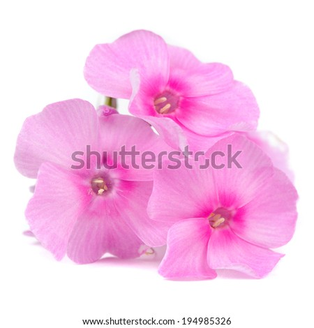Pink Phlox Flowers Isolated on White Background