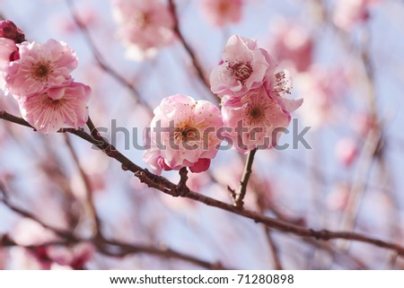 Pink Plum blossom - stock photo